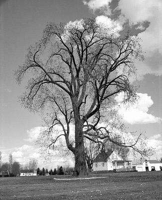 À la découverte des arbres remarquables du Québec.